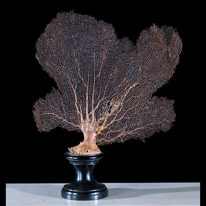 Vintage Fan Coral on on Ebonised Stand